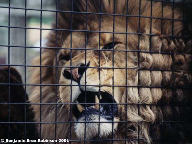 Во сне лев в клетке